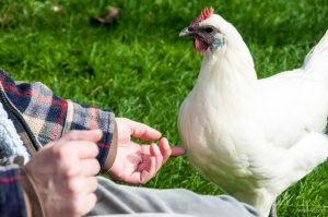 Ramelsloher Hühner