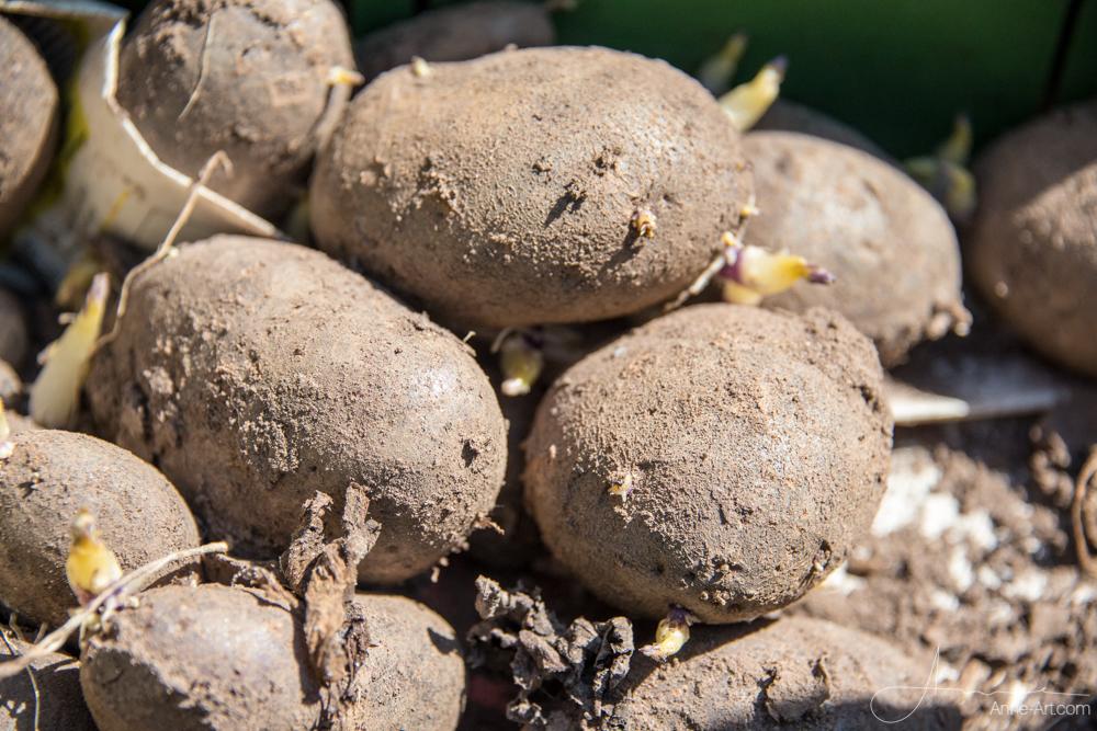 alte Kartoffelsorte