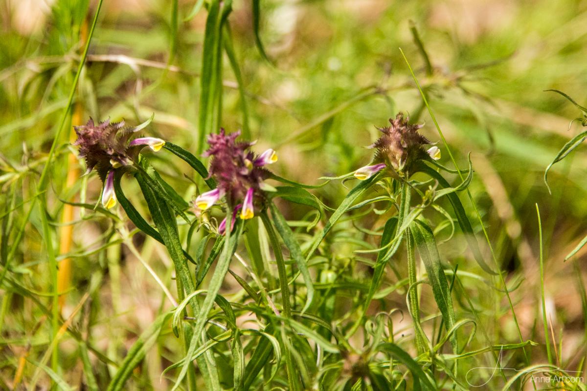 Kammwachtel-Weizen