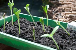 Zucchini vorziehen