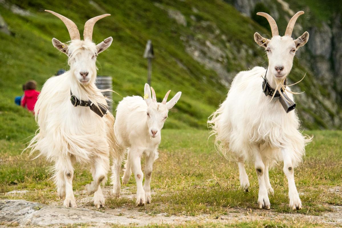 Appenzeller /Saaner Ziegen auf der Belalp