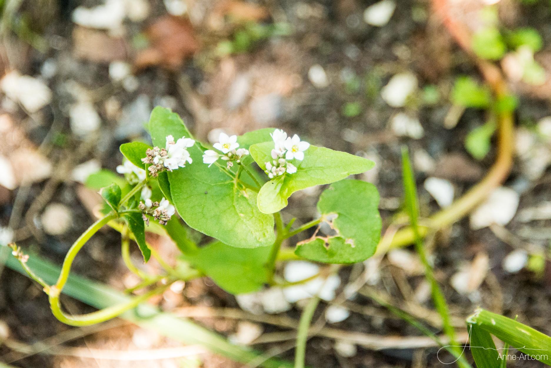 Blüte Buchweizen