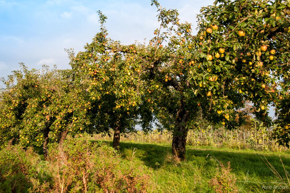 Finkenwerder Herbstprinz