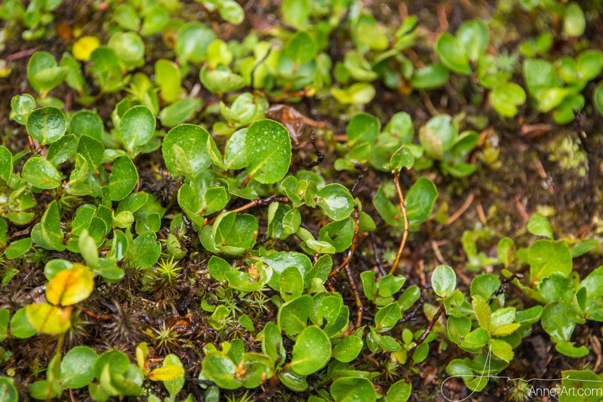 Kraut-Weide Salix herbacea